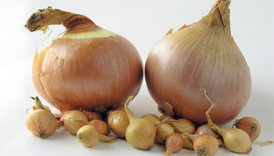 Large onions grown from tiny onion sets.
