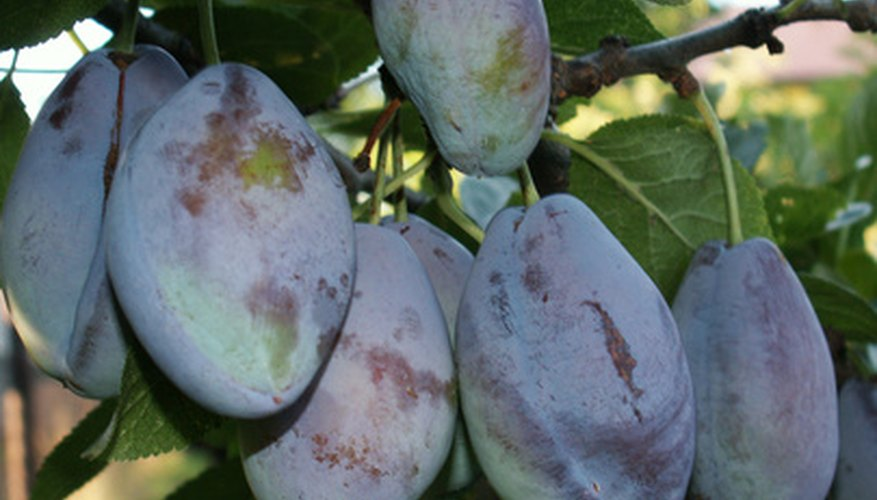 California's Central Valley produces lots of plums.