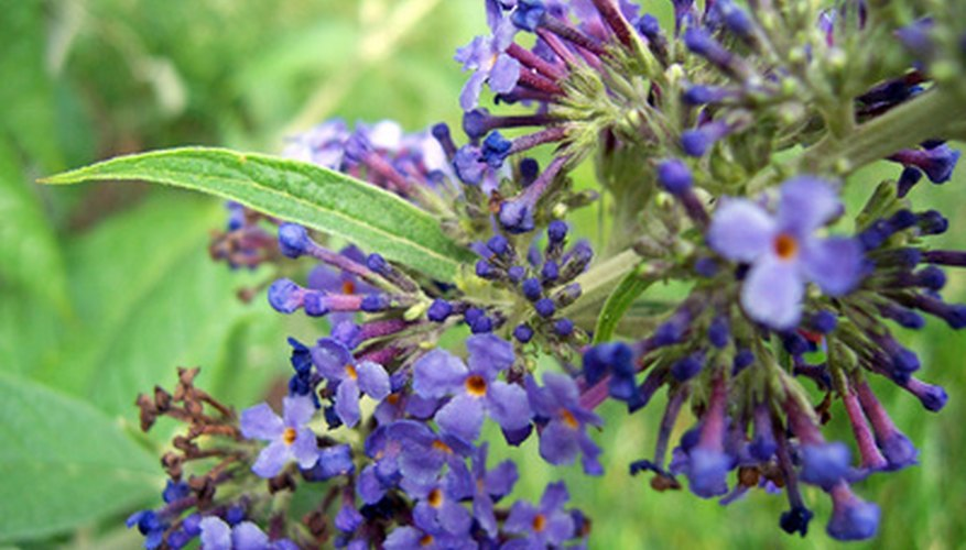 Deadheading will keep your butterfly bush blooming all summer.
