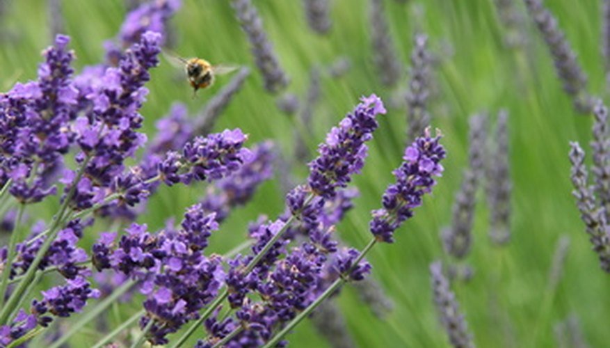 Lavender flower heads