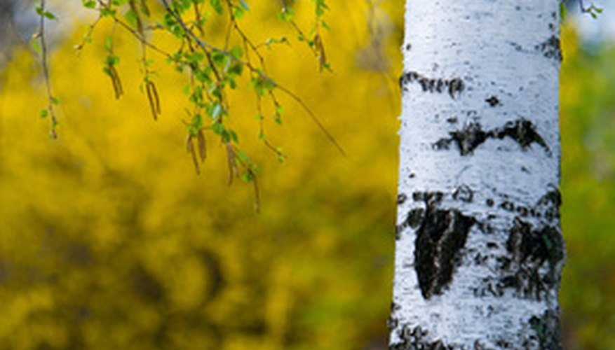 Papery bark is a common trait among birch trees.