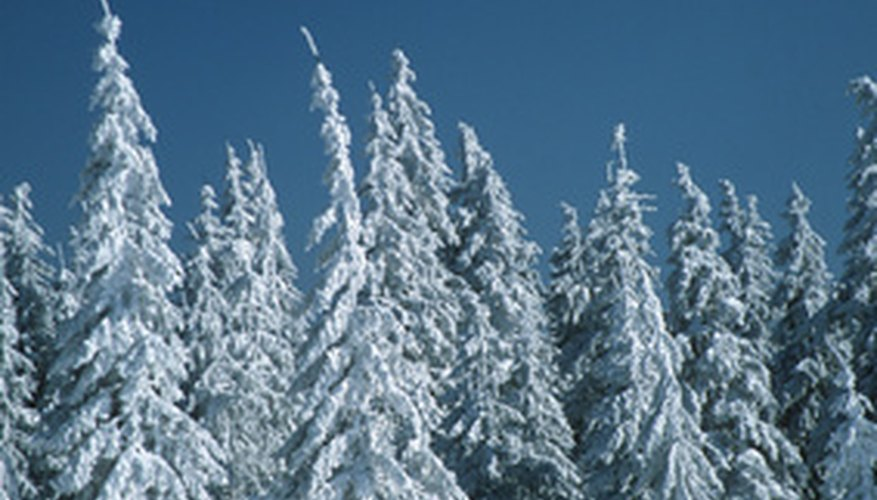Like these spruces, Black Hills spruce is an effective windbreak tree.