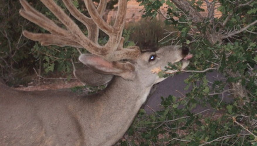 Although they're majestic animals, deer can be major garden pests.