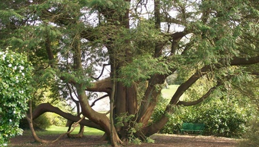 Cedar trees have shallow root systems.