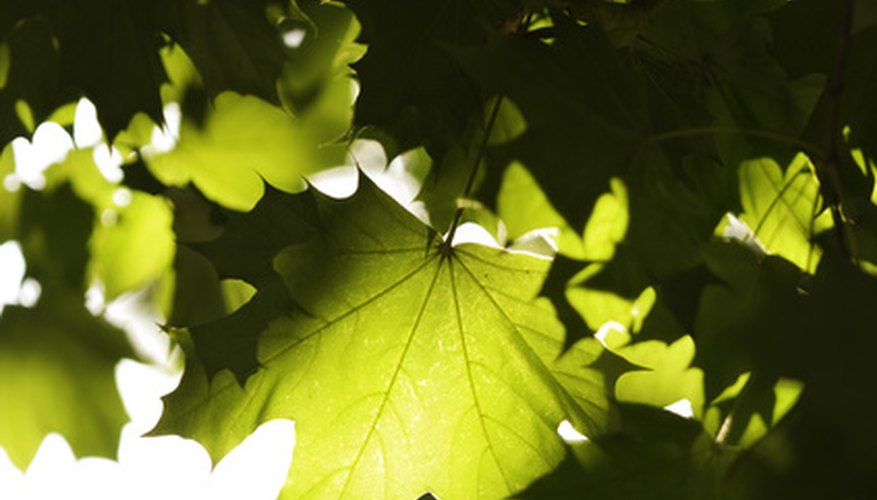 Brown spots on maple tree leaves could indicate a number of problems.