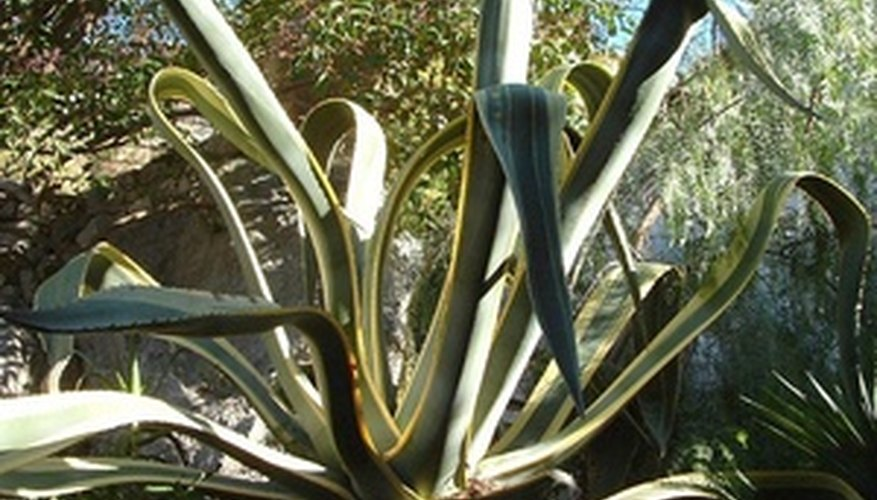 A Large Agave Plant