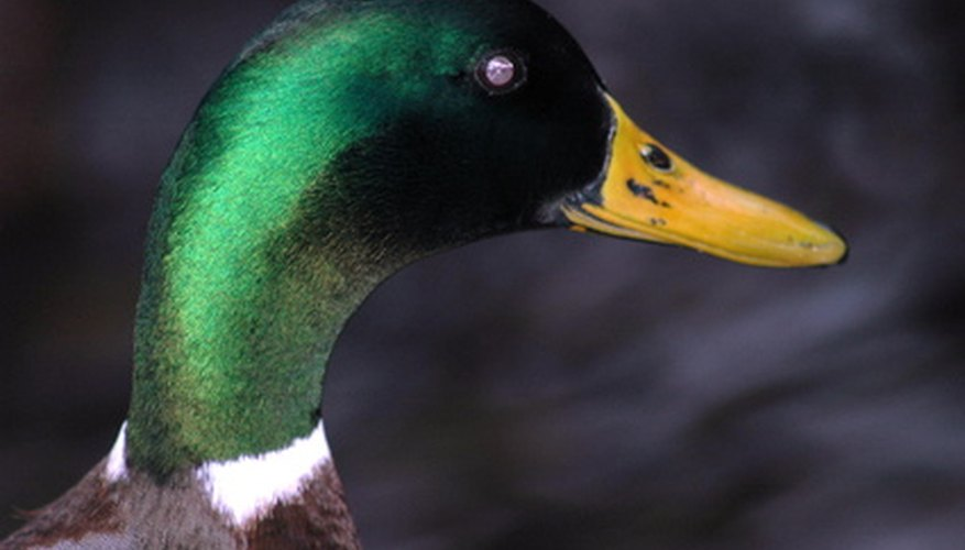 mallards prefer to nest in wetlands, or near ponds and lakes.