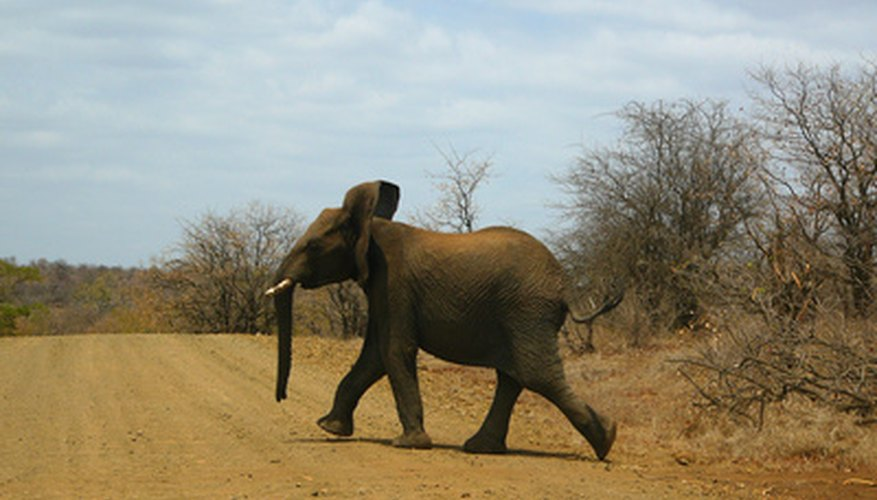 Elephants make their homes in the savannas of Africa.