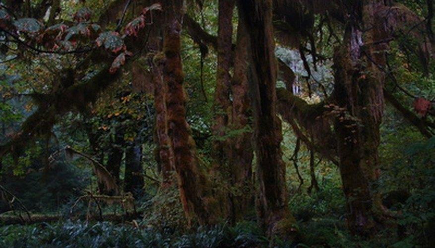 El hábitat del murciélago espeleólogo es el bosque tropical.