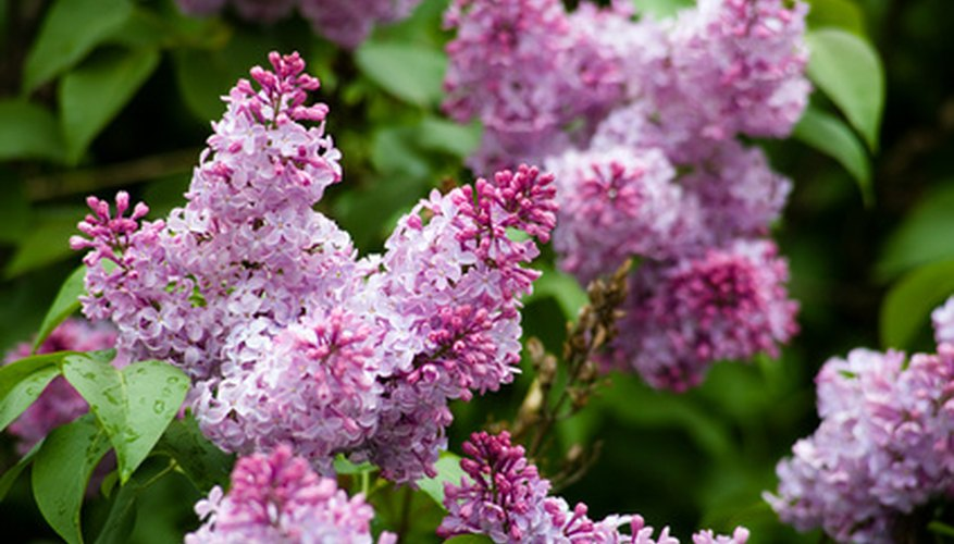 Lilac are susceptible to fungal diseases.