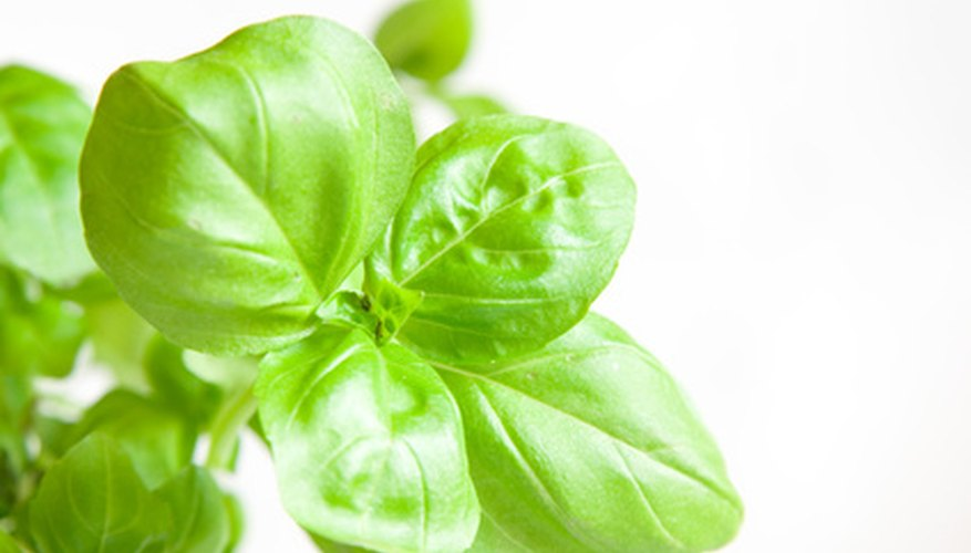 Italian basil is the most commonly grown and readily found in garden centers and supermarkets.