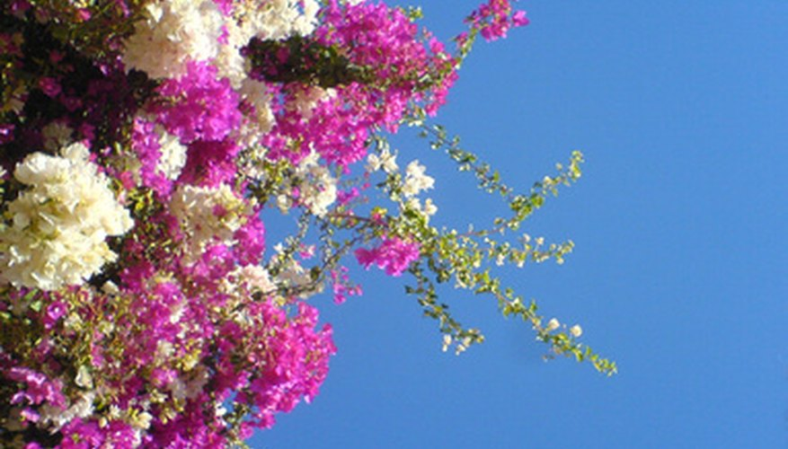 Purple and white bougainvillea