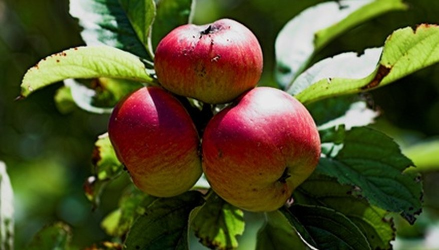 Apples showing signs of rust