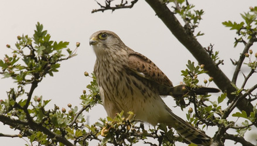 Although progress had been made to secure electric lines, raptors are safer in trees.