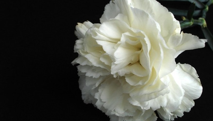 White carnations symbolize motherhood.