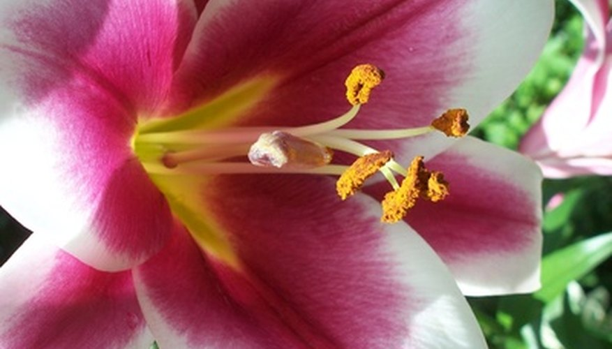 Las flores son los órganos reproductivos de las plantas, donde se lleva a cabo la producción de polen y la fertilización.