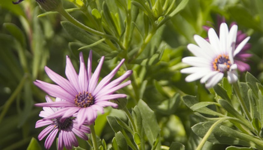 African daisies are available in a variety of colors.