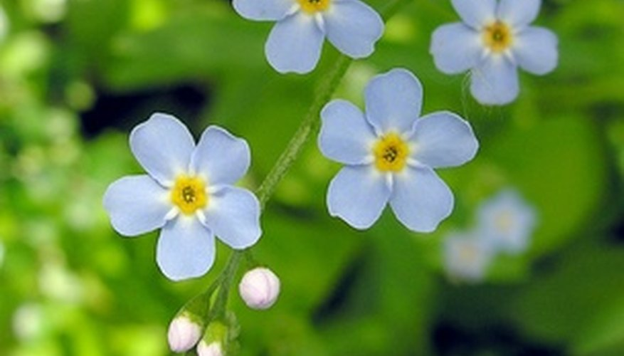 Tiny flowers of the forget-me-not.