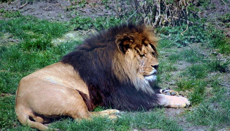 Lions live in the Kalahari Desert.