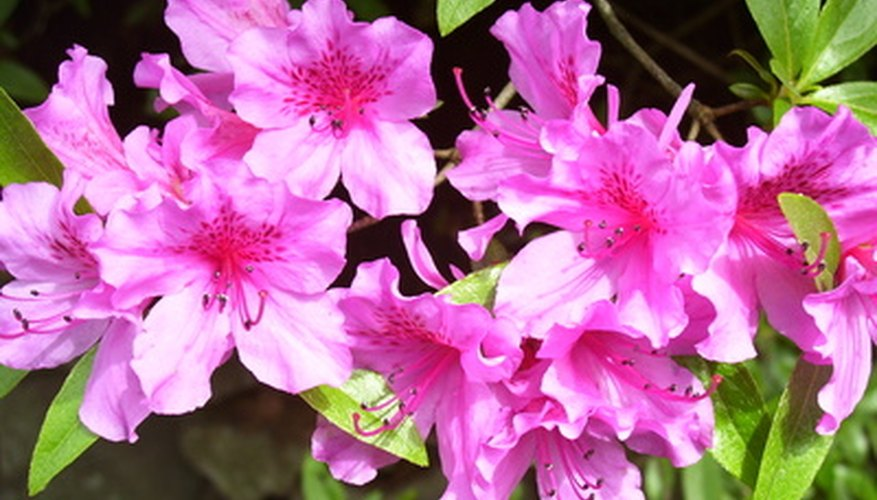 Azaleas are susceptible to mold on stems.