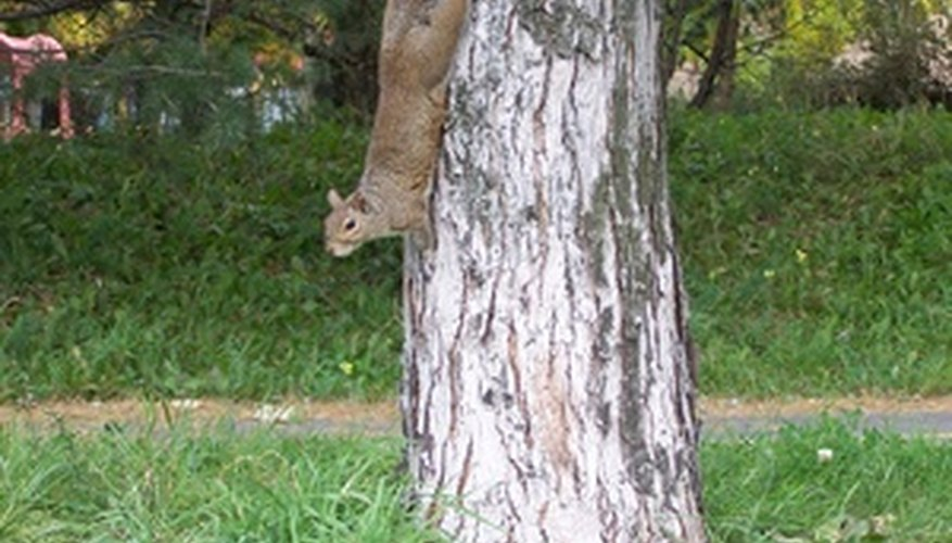 Squirrels climb trees by holding onto the bark.