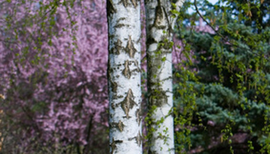 Many species of birch tree are valued for their wood and as ornamentals.