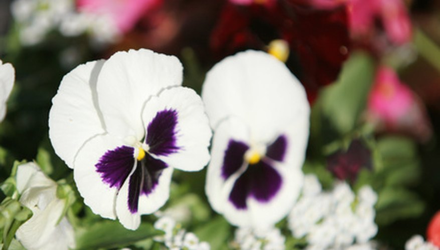 Violets are one type of perennial flower.