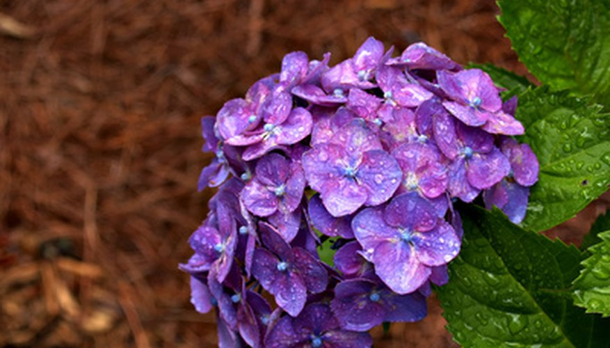 Hydrangea bushes are grown throughout Ohio.