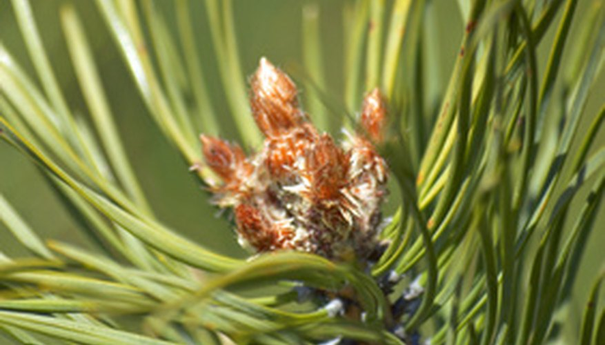 Pine trees are easy to grow from seed.