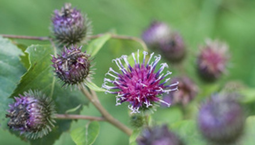The roots and leaves of burdock, commonly found in the wild, can be eaten as a vegetable.