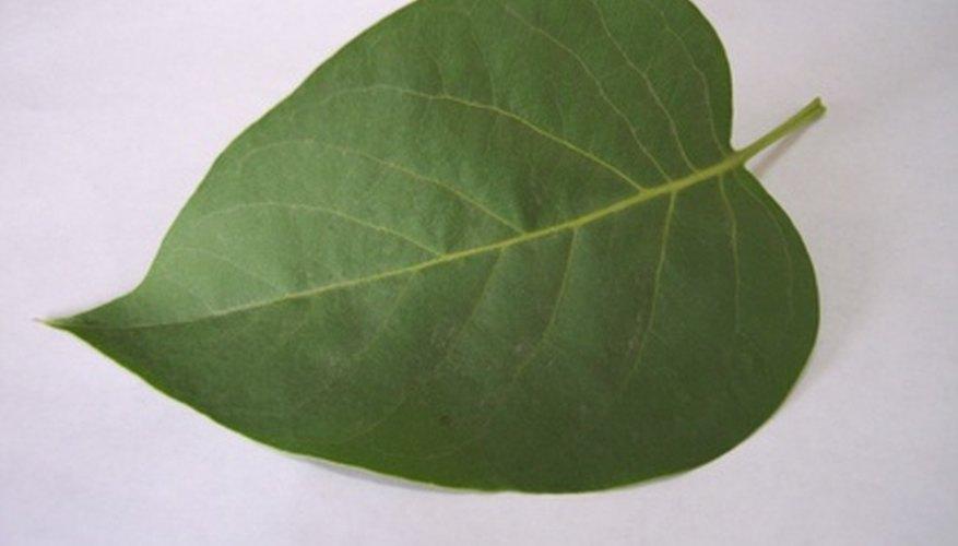 La clorofila es el pigmento verde que se encuentra más abundantemente dentro de las hojas de las plantas.