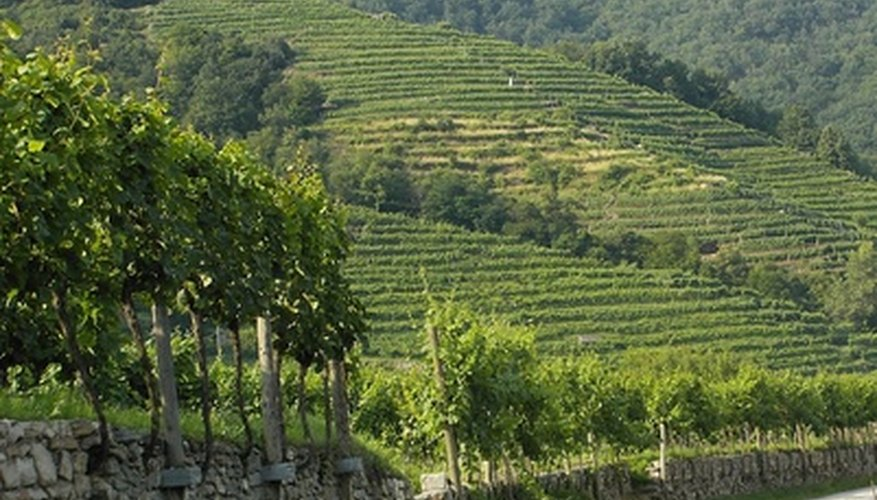 A hillside vineyard