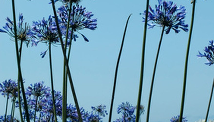 The rounded blue flower heads of agapanthus make it a popular ornamental.