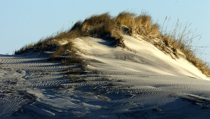 Beach grass helps control erosion of the coastline.