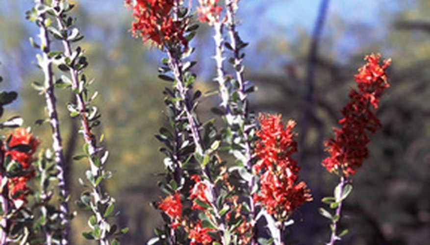 Octotillo plants have scarlet blooms.