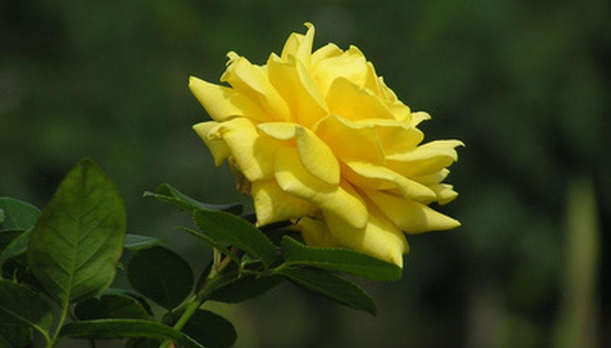 Several cultivars of yellow hybrid tea roses are available.