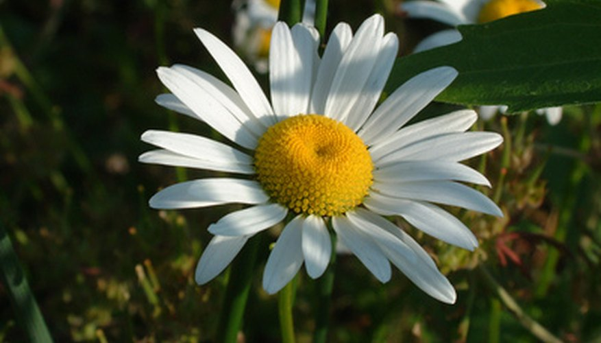 A shasta daisy flower features a bright yellow center and white petals.