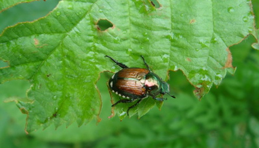Japanese beetles are widely reviled for their ability to rapidly defoliate trees and shrubs.