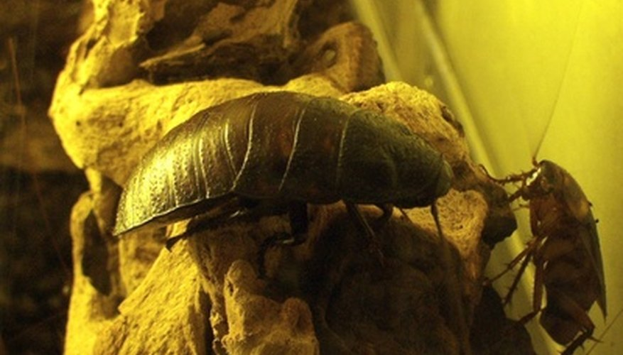Although hard to kill, roaches do have some natural weaknesses.