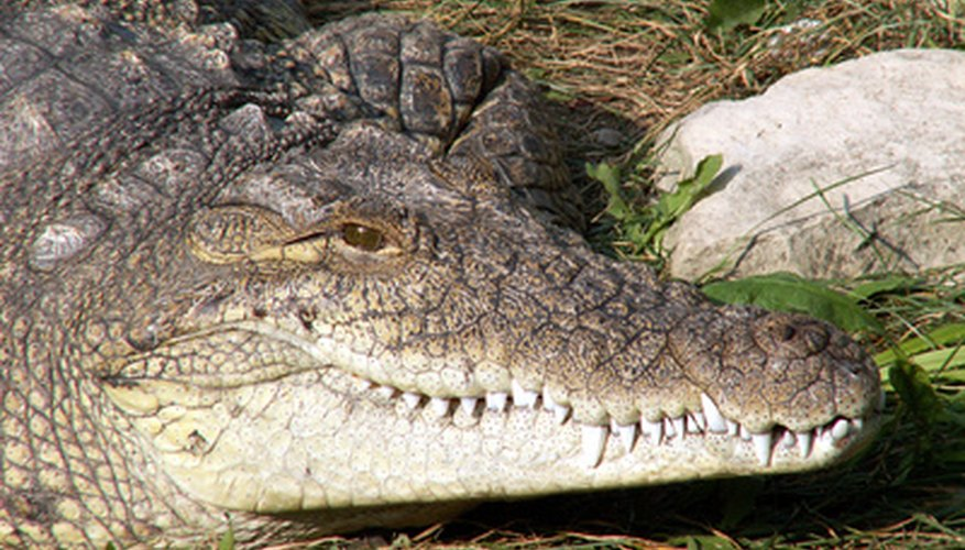 Los cocodrilos del Nilo pueden vivir más de 40 años en la naturaleza.