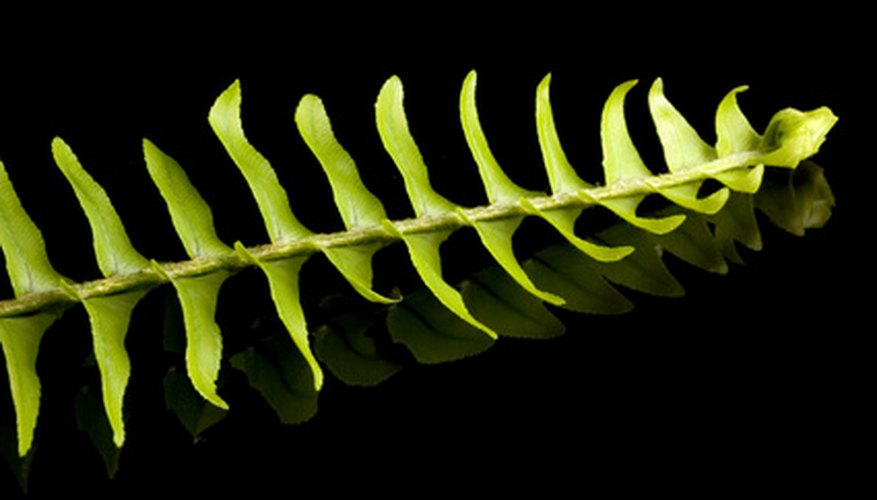 A Boston fern's leaves have a feathery appearance.
