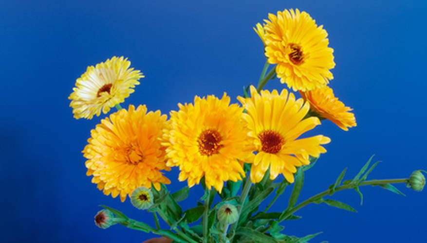 Calendula blooms in colors of yellow and orange.
