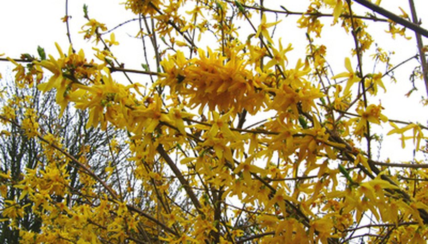 Forsythia blooms in early spring on new growth.