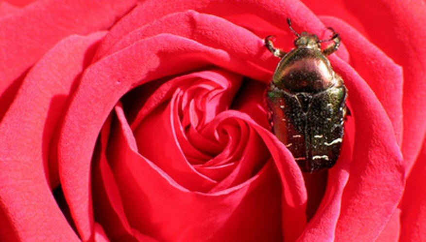 Insects can severely damage roses.