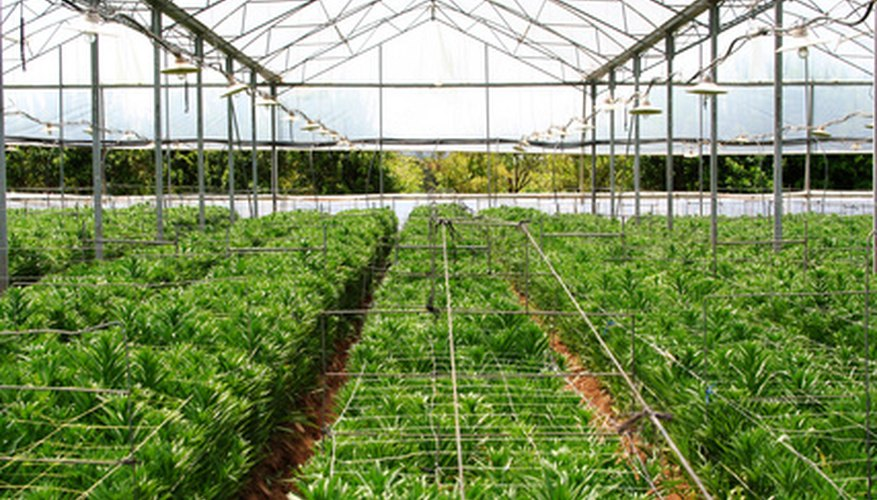This commercial greenhouse has an overhead irrigation system.