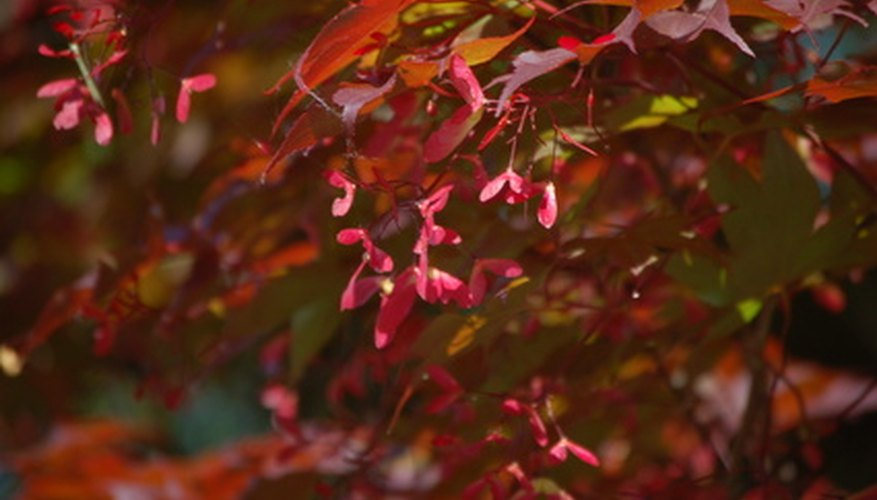 Healthy Crimson King maple trees have brilliantly colored foliage.