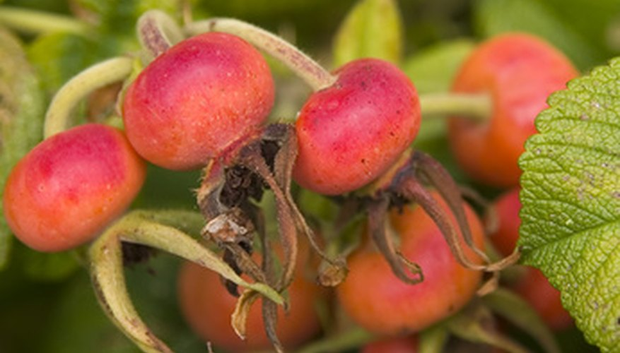 Rose hips ready for harvest
