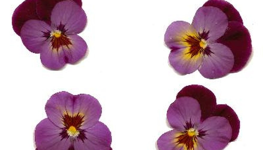 Flat-faced pansies are pressed flower favourites.