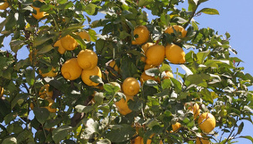 Eureka lemon tree.