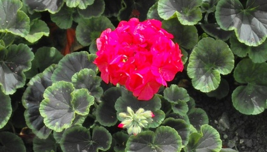 Zonal geraniums have blotches or